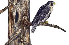 tree snags used by predators