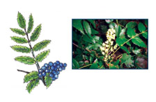 Oregon Grape (Mahonia repens)